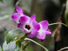 Dendrobium nobile flower