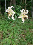800px-Lilium auratum1