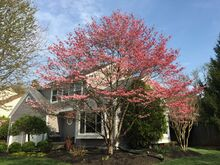 Cornus florida tree