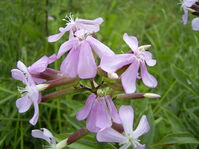 Saponaria-officinalis-flower
