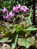 800px-Erythronium japonicum 2006 005