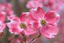 Cornus florida Inflorescence