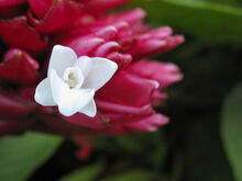 Alpinia purpurata true flower