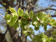 Ulmus davidiana var. japonica fruits