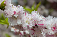 Prunus persica ornamental flower