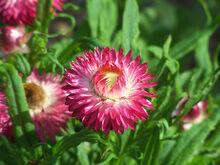 Straw Flower pink