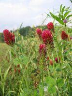 800px-Trifolium incarnatum