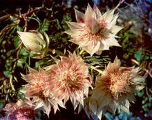 Serruria florida flower