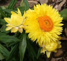 Straw Flower yellow