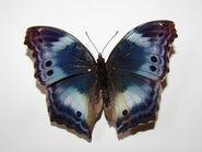 47 Western Blue Beauty