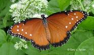265 Queen Butterfly