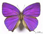 Oak Blue butterfly