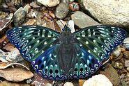 430 Himalayan Constable Subspecies