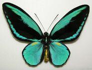 Obi Island Birdwing butterfly