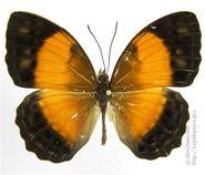454 Female New Guinea Rustic