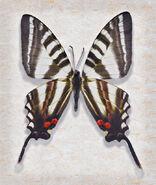 45 Zebra Swallowtail