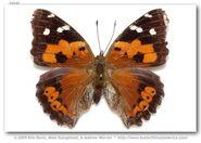 405 Kamehameha Butterfly