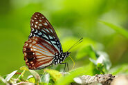 Circe Butterfly