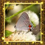 Flutterfact20141201HairsteakAntennas