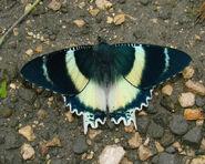 Agathyrsus Day-flying Moth