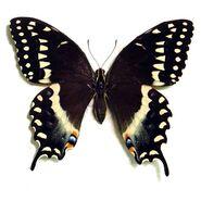 407 Palamedes Swallowtail