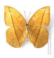 421 Yellow Dryad