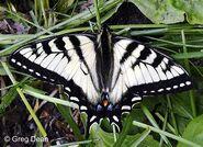 305 Pale Swallowtail
