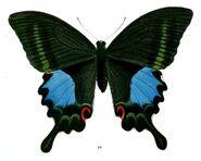 267 Paris Peacock Swallowtail