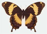 296 Jamaican Giant Swallowtail