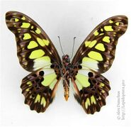 385 Green-spotted Swallowtail
