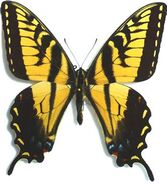 397 Mexican Tiger Swallowtail