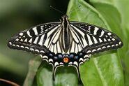 274 Asian Swallowtail