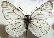 351 Black-veined White