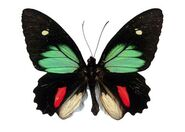 381 Male Green-celled Cattleheart