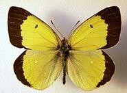 446 Moorland Clouded Yellow