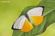 Scylla Orange Emigrant