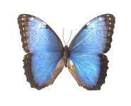 24 Blue Morpho