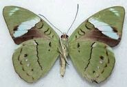 389 Olivewing