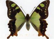 319 McLays Swallowtail