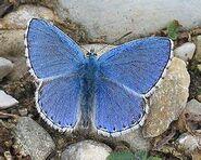 278 Male Adonis Blue