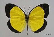 384 Male Broad-margined Grass-yellow