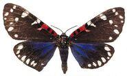 288 Uncle Sam's Moth