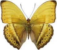 386 Male Yellow Glider