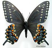 20 Eastern Black Swallowtail
