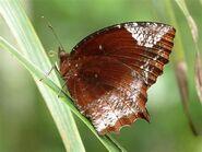 325 Common Palmfly