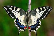 281 Old World Swallowtail