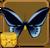 Male Priam's Birdwing§Headericon