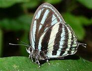 316 Selina Tigerstripe