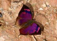 Noble Leafwing