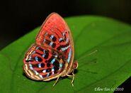 355 Malay Red Harlequin